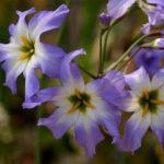 2月17日の誕生花と花言葉♪リューココリネ