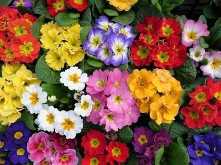 2月19日の誕生花と花言葉♪プリムラ