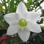 2月22日の誕生花と花言葉♪ユーチャリス