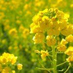 2月06日の誕生花と花言葉♪菜の花