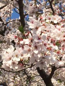 桜 散る間際