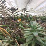 多肉植物 真夏の育て方 腐らせないための水やりや管理法