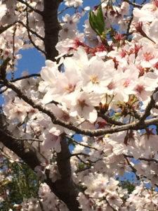 桜 まだ散らない