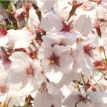 【サクラチル】桜の散り際が一番美しい理由 見頃がまるわかり!