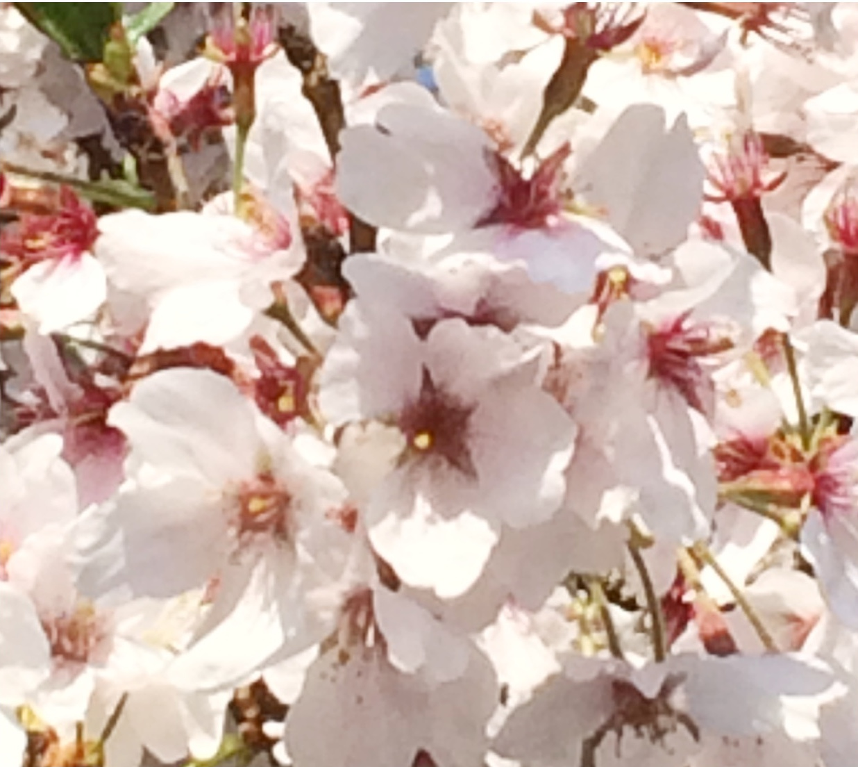 桜散り際アップ