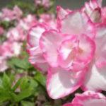 3月22日の誕生花と花言葉♪アザレア