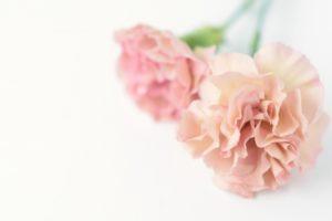 ピンクと白のカーネーション