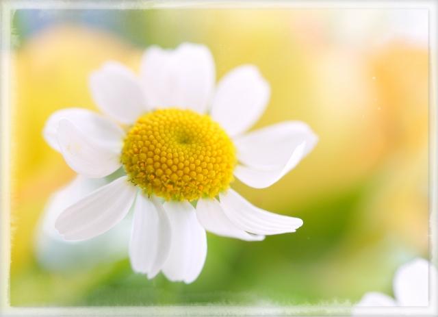 マトリカリア 花 写真