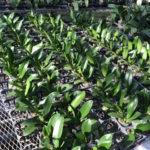 胡蝶蘭の育て方シリーズ 根の見方