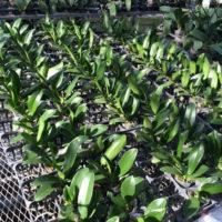 就農 胡蝶蘭の苗