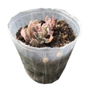 綴化シャビアナ 2.5寸鉢