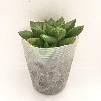 ハオルチア 宝草