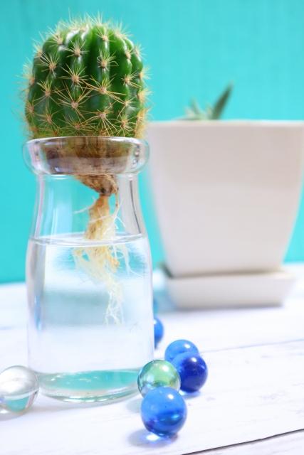 サボテンの水耕栽培