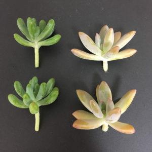 多肉植物を植物用ライトで育ててみた