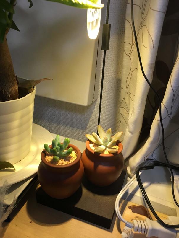 多肉植物をLEDライトで栽培 実験中