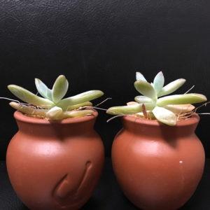 多肉植物をLEDで育ててみた 秋麗比較