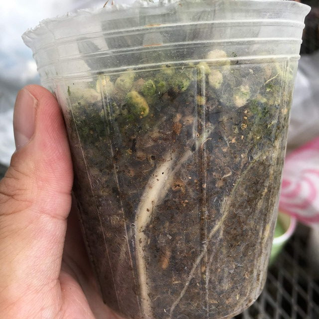 多肉植物 水やり 検証 培養土の水やり直後の状態