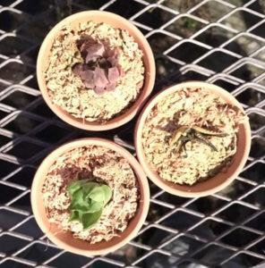 多肉植物 水やり 実験 水分現象量実験その後2