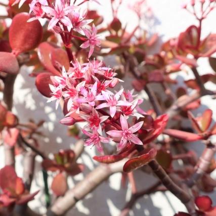 金の成る木 育て方 花の写真