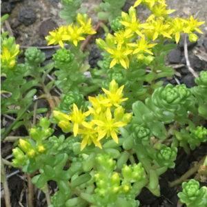 タイトゴメ 花
