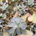 子持ち蓮華の育て方  実は挿し穂ができます。