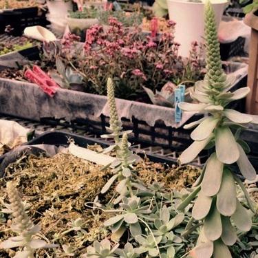 子持ち蓮華 育て方 花の写真