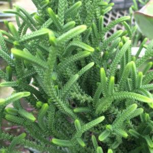 若緑 育て方 多肉植物 クラッスラ