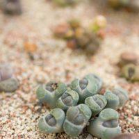 多肉植物 冬の管理 リトープス 冬型