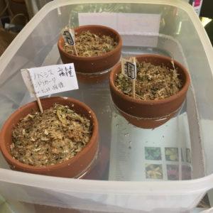 ハオルチア 種まき 苗床