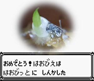 ハオルチア 実生 幼葉