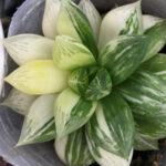 ハオルチアや多肉植物の錦や斑入りの育て方のコツ